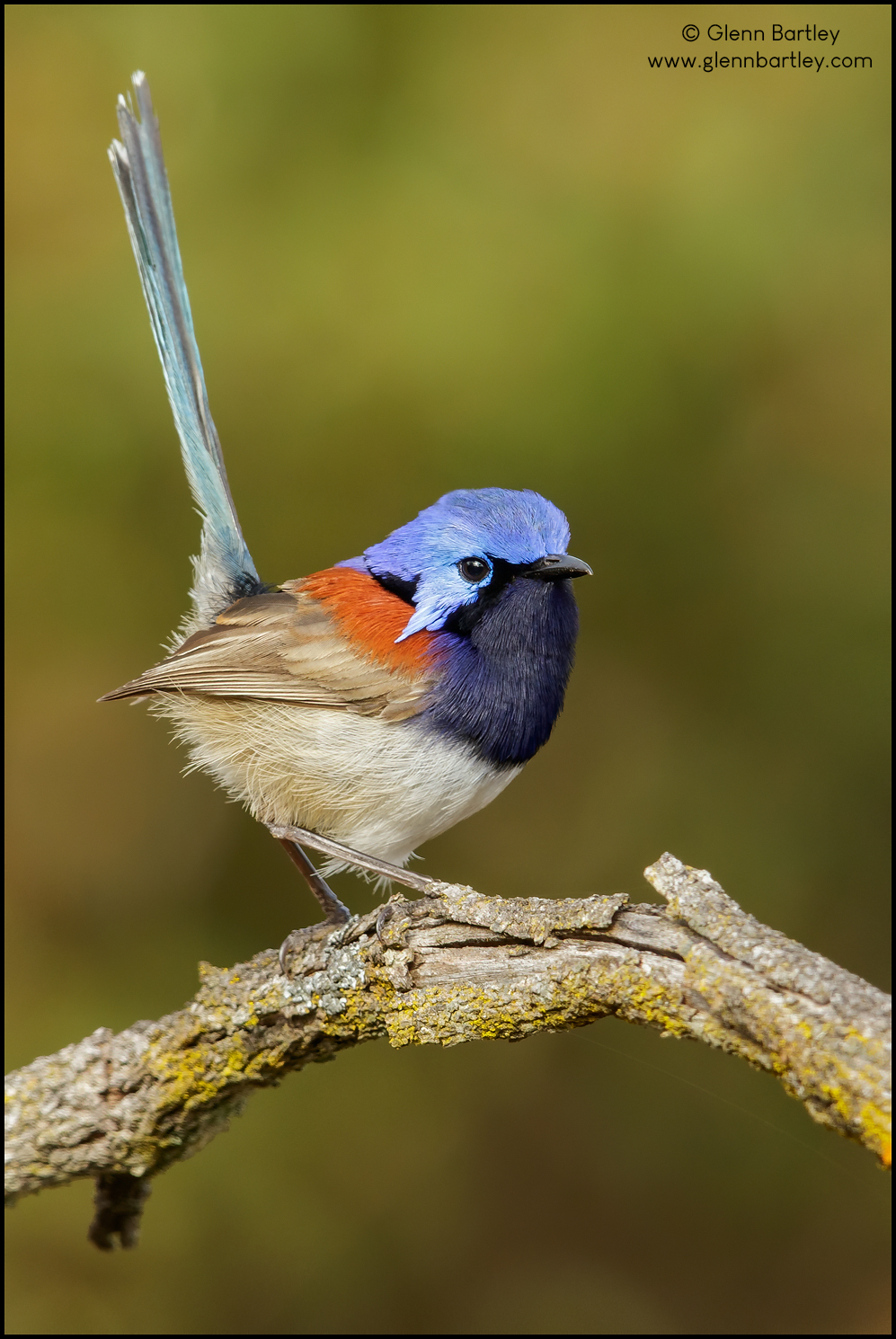 Blue-breasted%20Fairy-Wren%20-%2005.jpg
